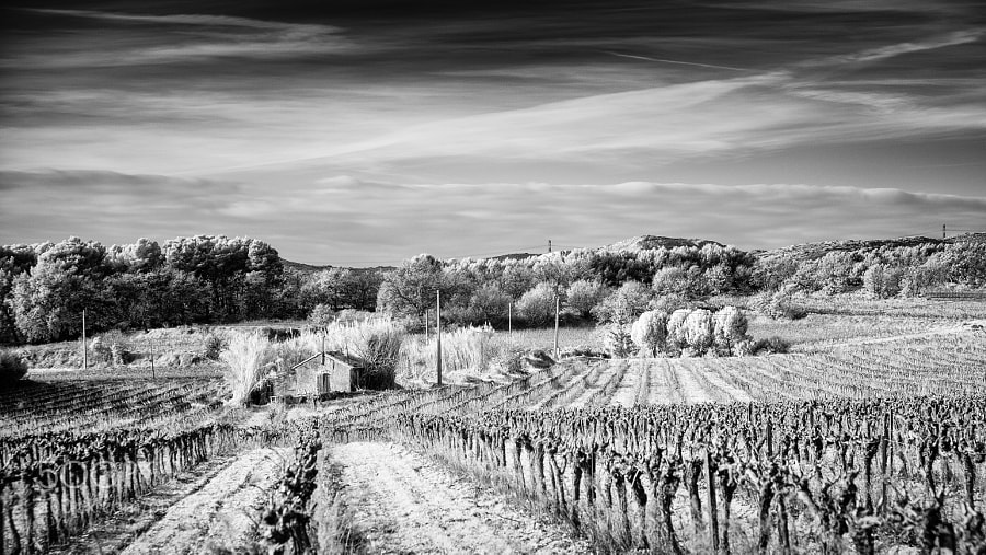 Provence Vineyard (Infrared)