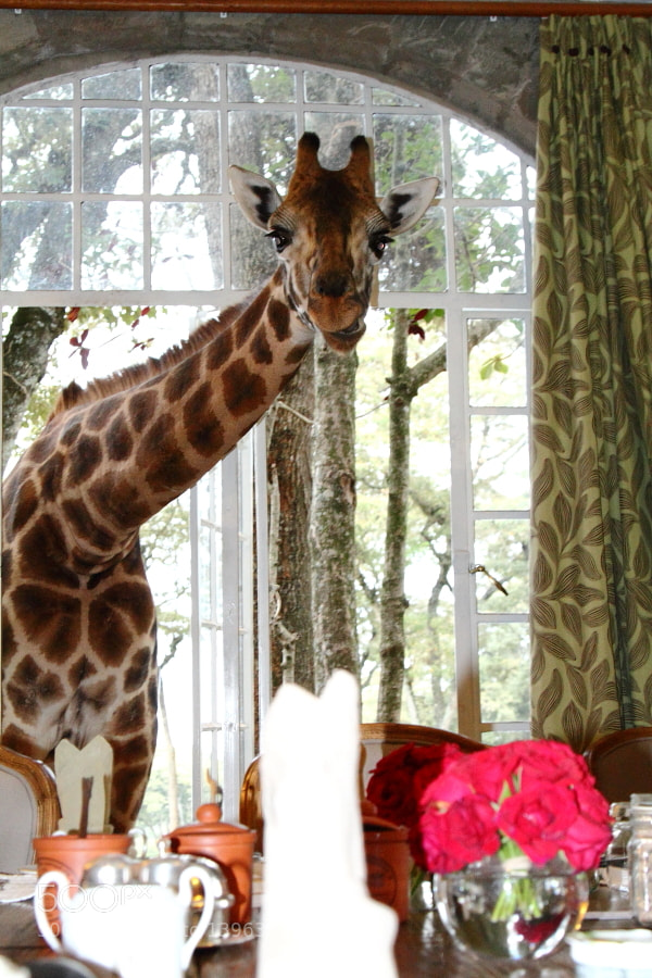 Photograph GIRAFFE MANOR by Aki Kanamori on 500px