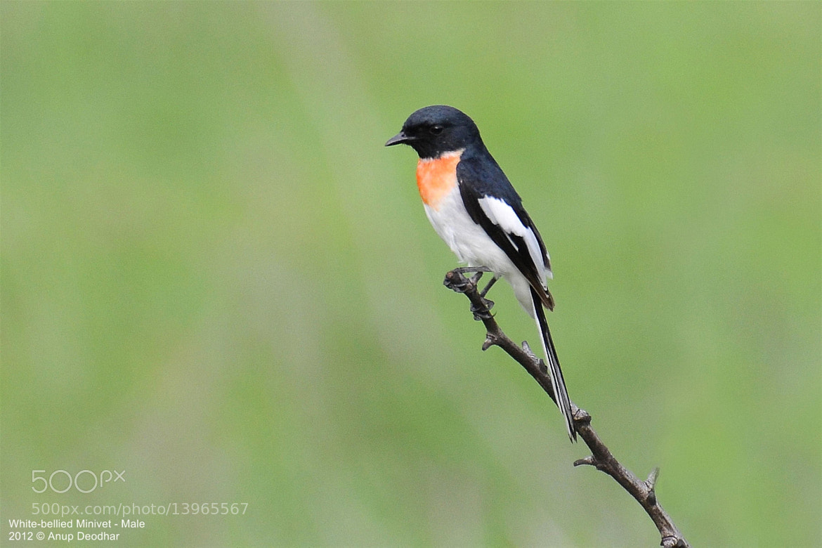 Photograph White-bellied Minivet - Male by Anup Deodhar on 500px