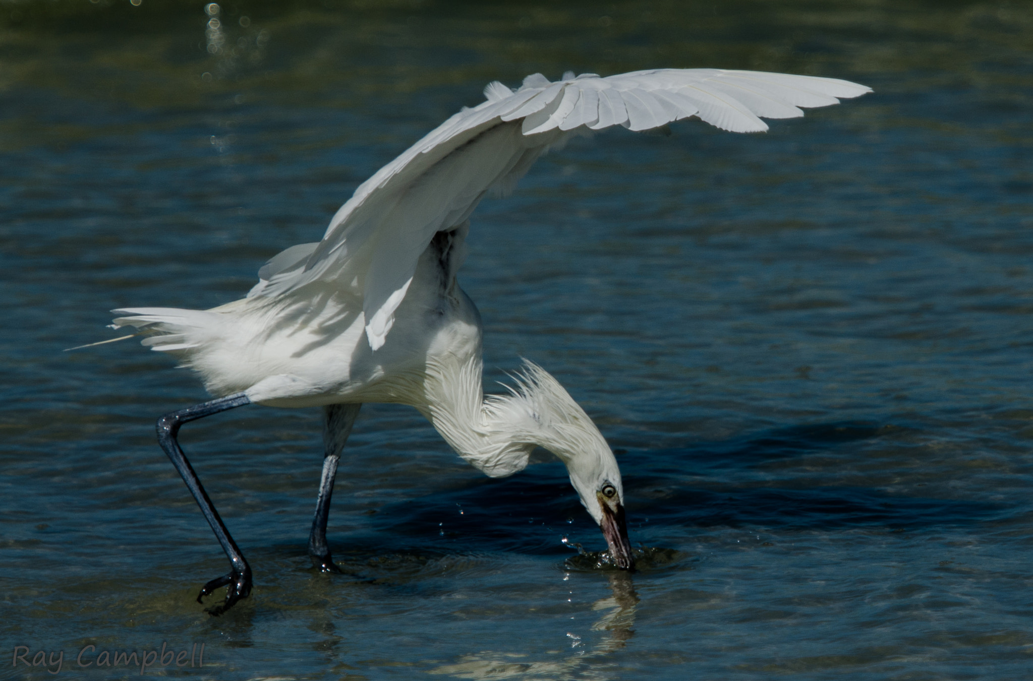 Photograph Reddish Egret (White Morph) by Ray Campbell on 500px