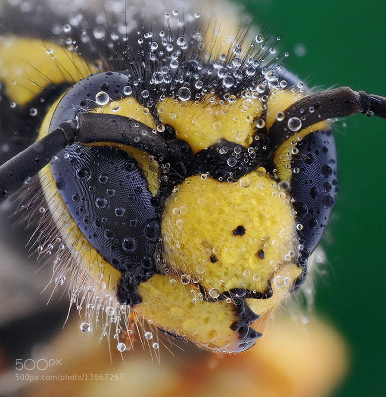 Photograph Wasp & Dew by soheil shahbazi on 500px