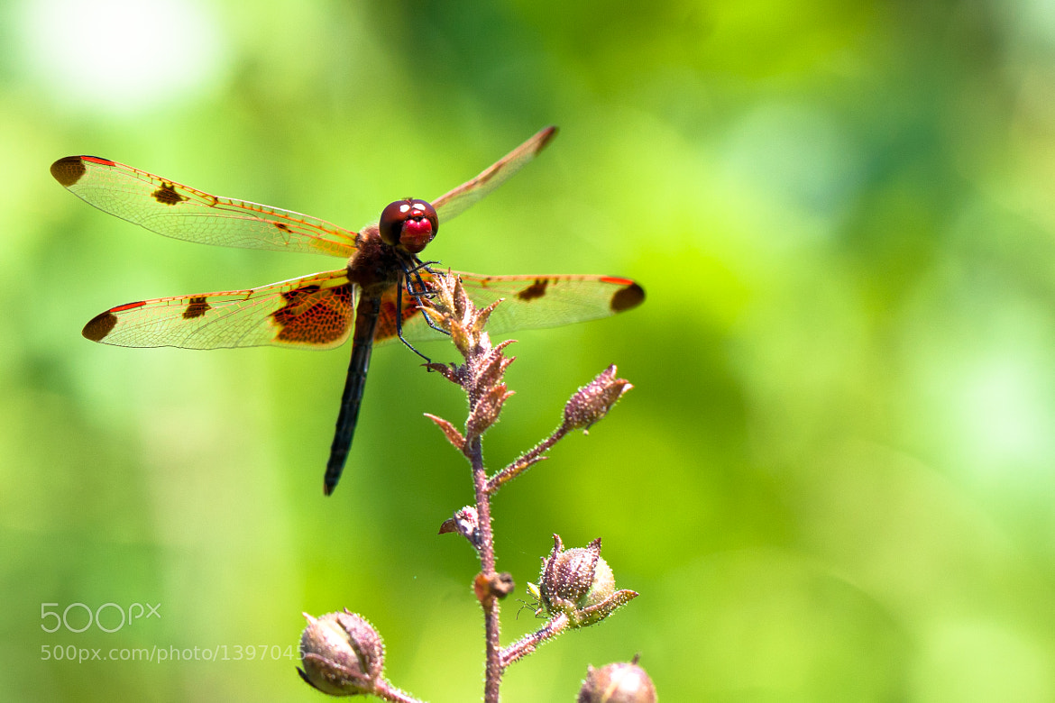 Photograph Dragonfly by Mark Coffman on 500px