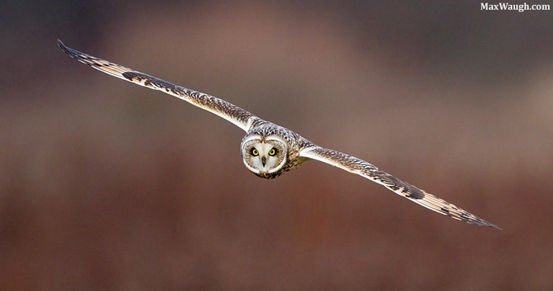 Photograph Short-Eared Owl by Max Waugh on 500px