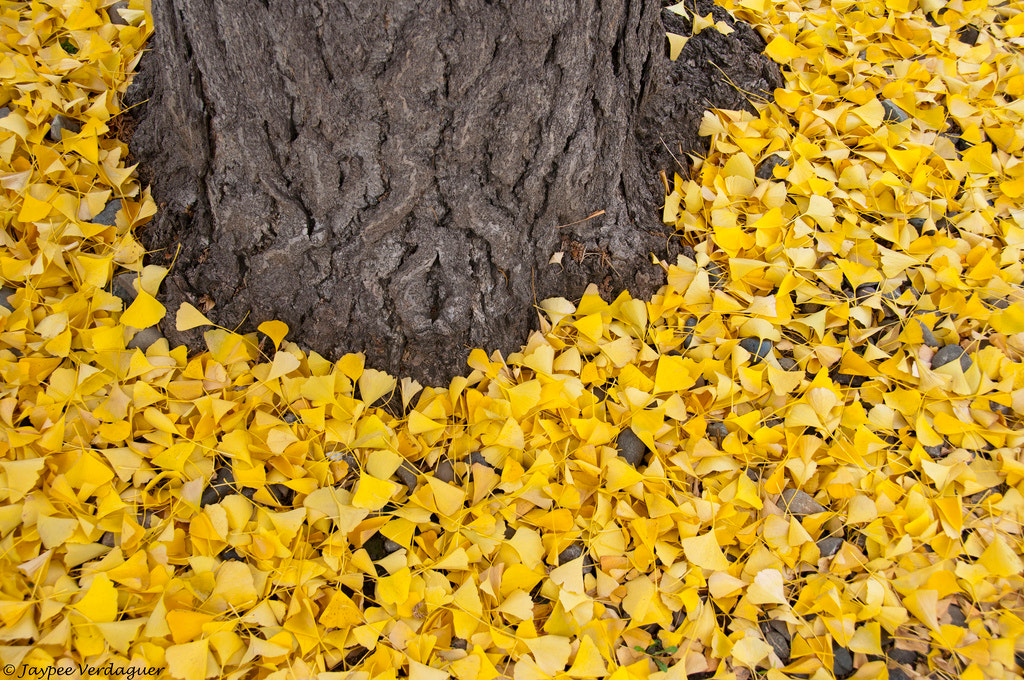 Photograph Yellow Leaves by Jaypee Verdaguer on 500px