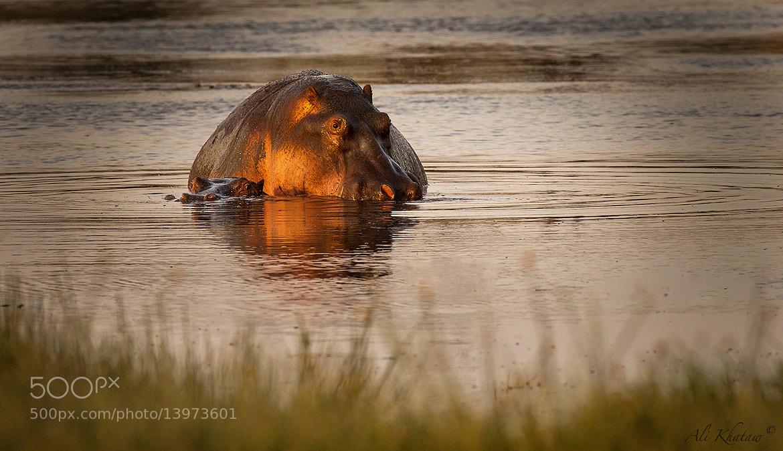 Photograph Hippos having fun! by Ali Khataw on 500px