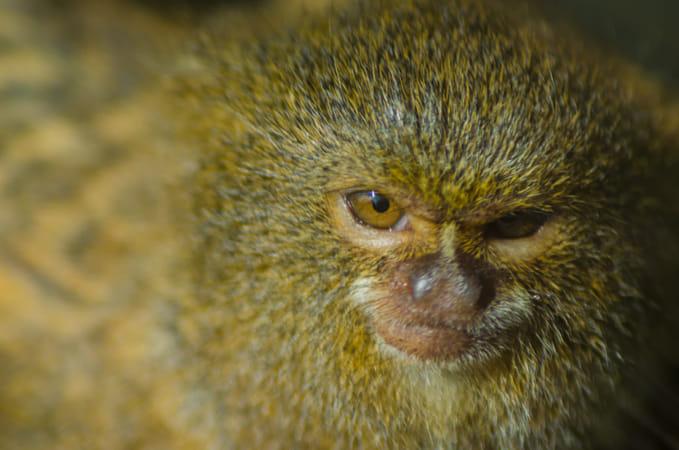 Little Silk Monkey