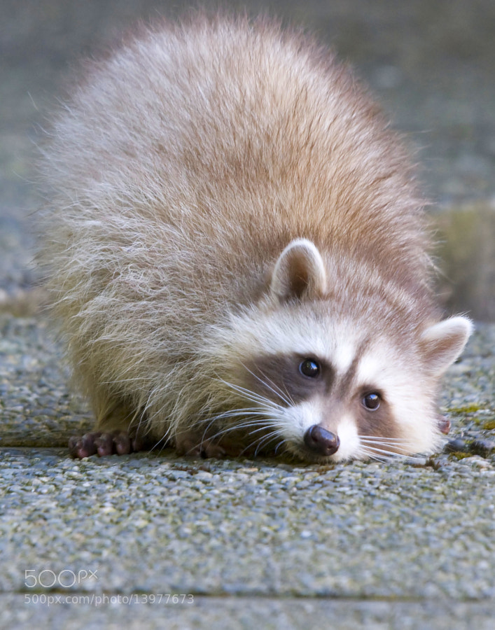 Cute young Blonde Raccoon