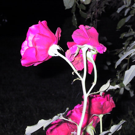Rose at Night, Canon POWERSHOT S10