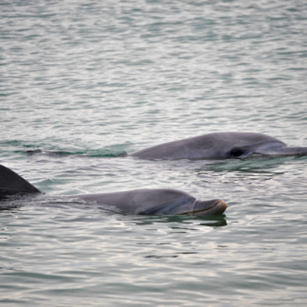 A couple of Bottlenose dolphins (Tursiops truncatus)