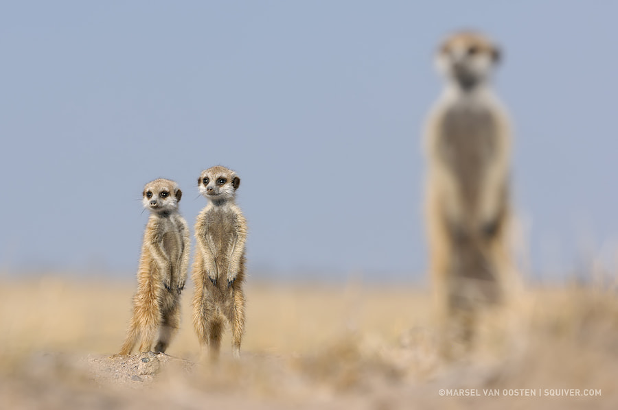 Like Father Like Sons by Marsel van Oosten