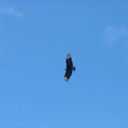 Eagle flying, Fujifilm FinePix 3800