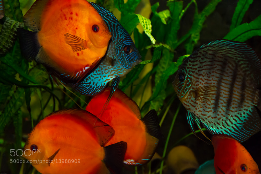 different discus fish waiting for something to eat.