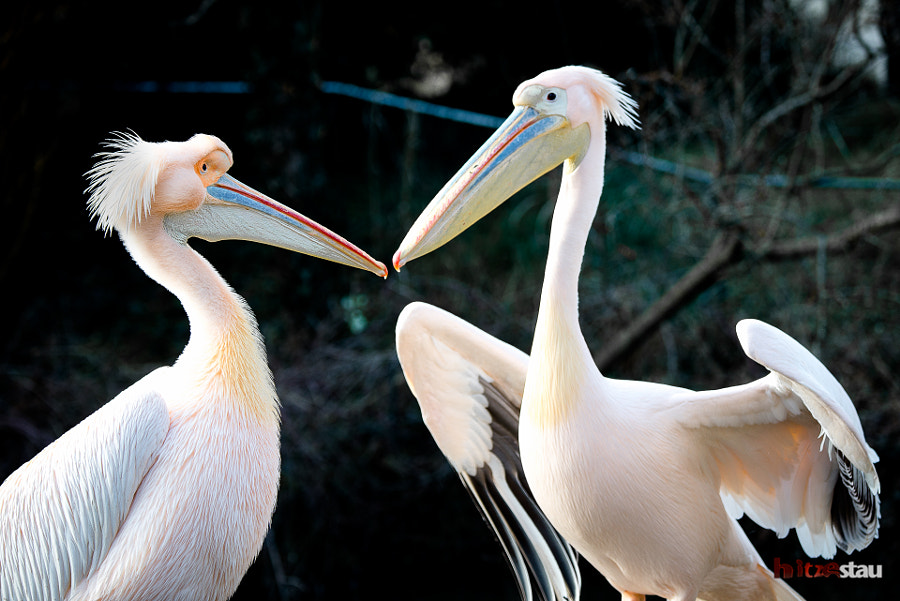 Two Pelicans Fighting by hitzestau on 500px.com