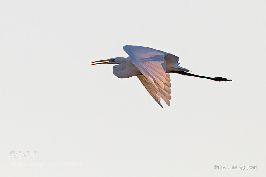 Photograph White Egret by Steven Reburgh on 500px