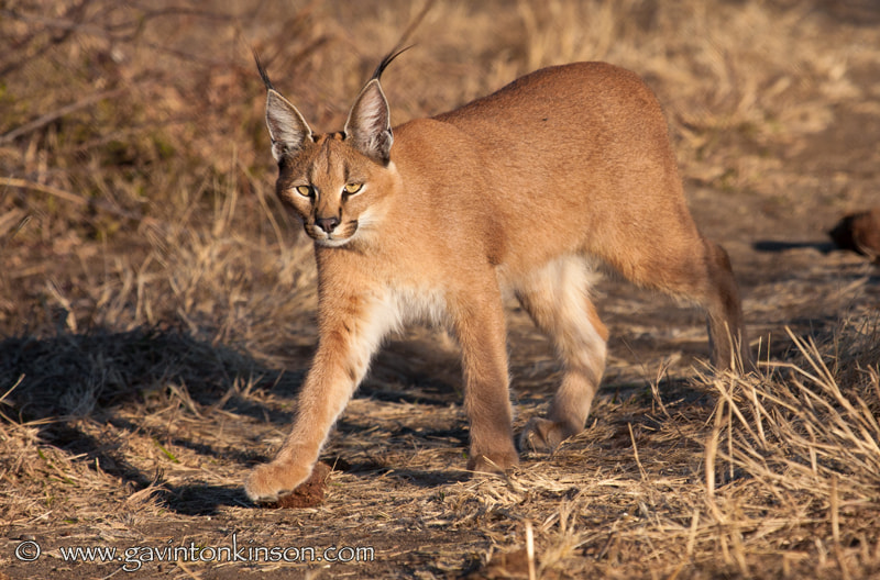 Photograph Caracal in Madikwe Again !! by Gavin  Tonkinson on 500px