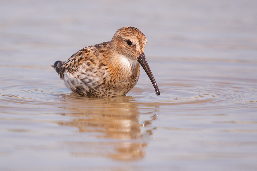 Photograph Dunlin by zoran simic on 500px