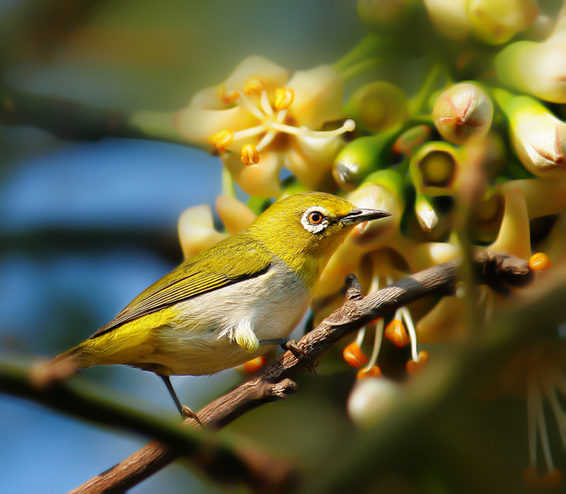 Photograph Oriental white-eye by Prachit Punyapor on 500px