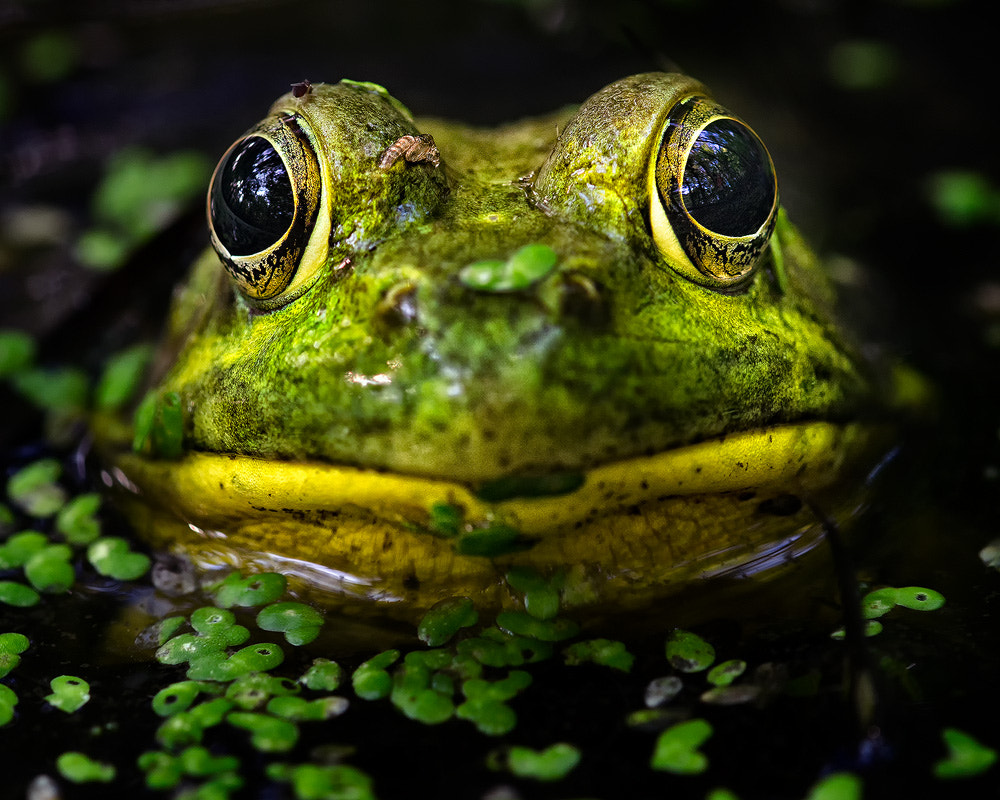 Photograph Eye To Eye With A Frog by Steve Perry on 500px