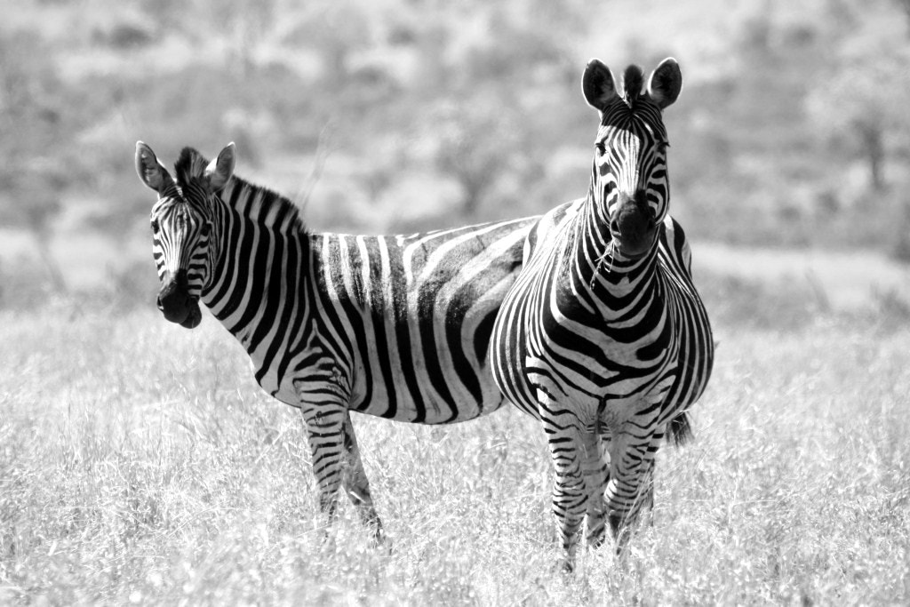 Photograph Zebra by Andre Welthagen on 500px