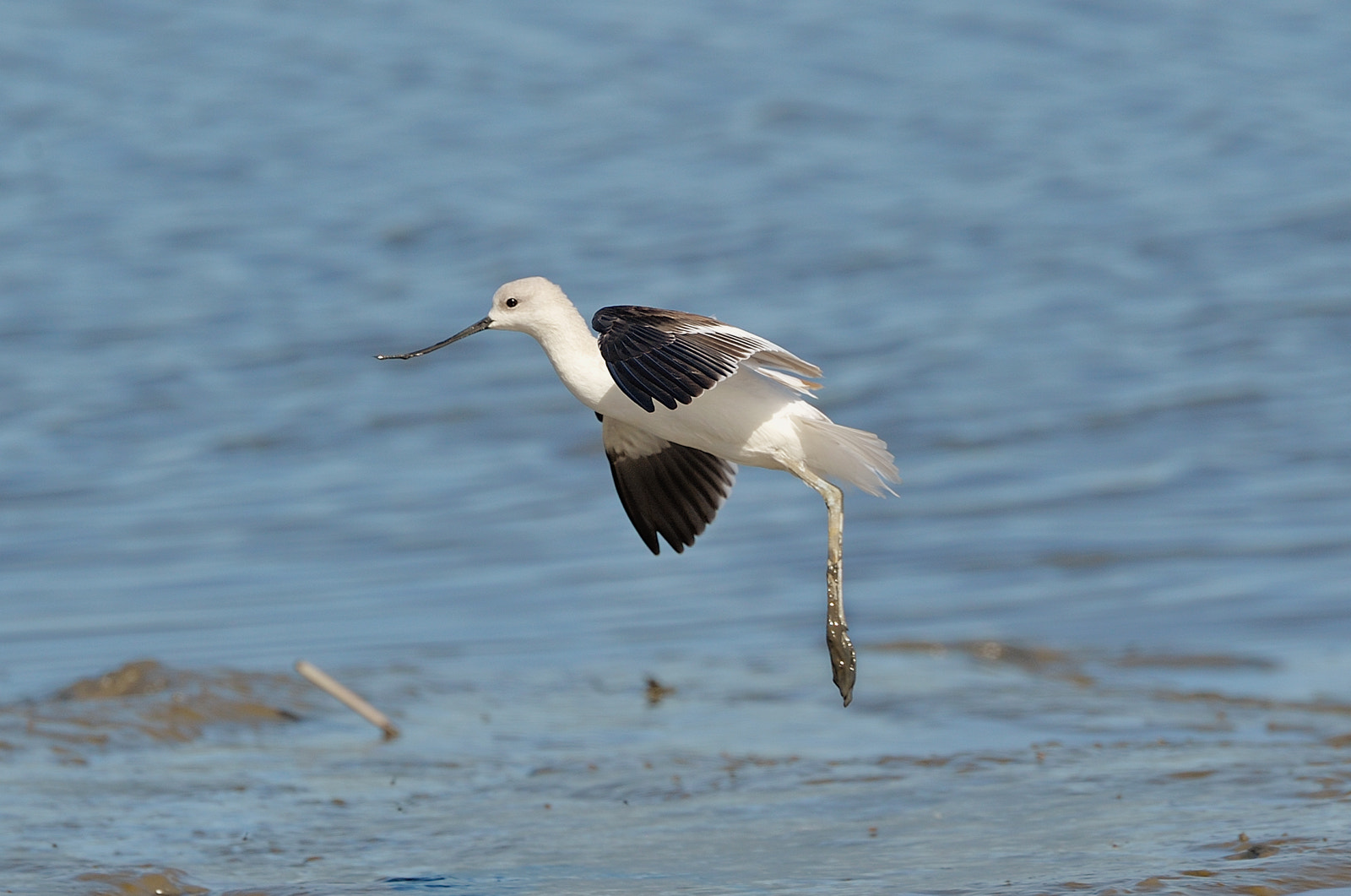 Photograph American Avocet by Kim Taylor on 500px