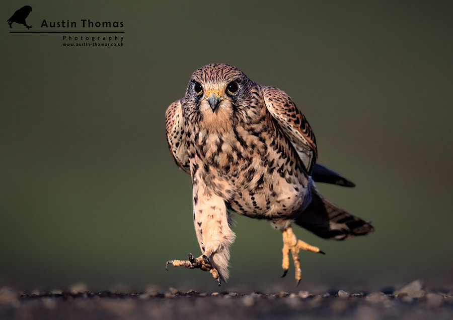 A Kestrel in a hurry...