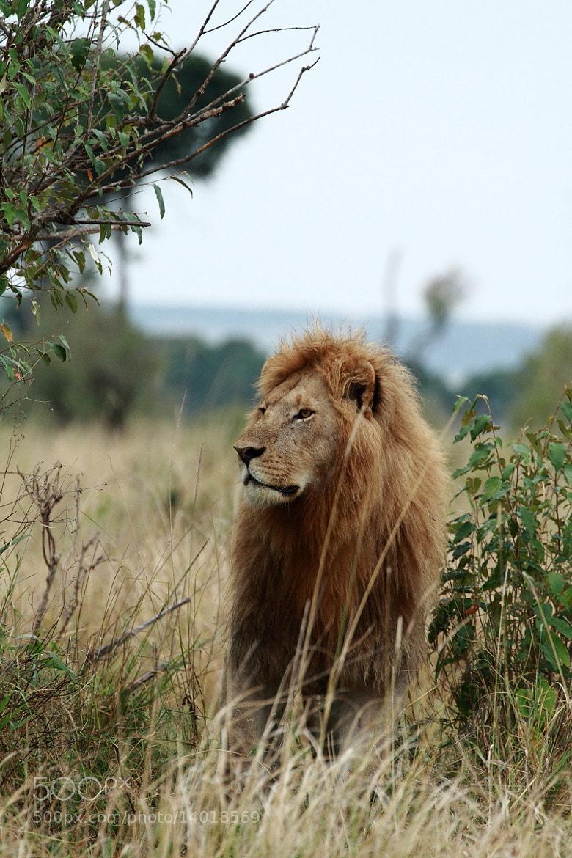 Photograph Male lion by Aki Kanamori on 500px