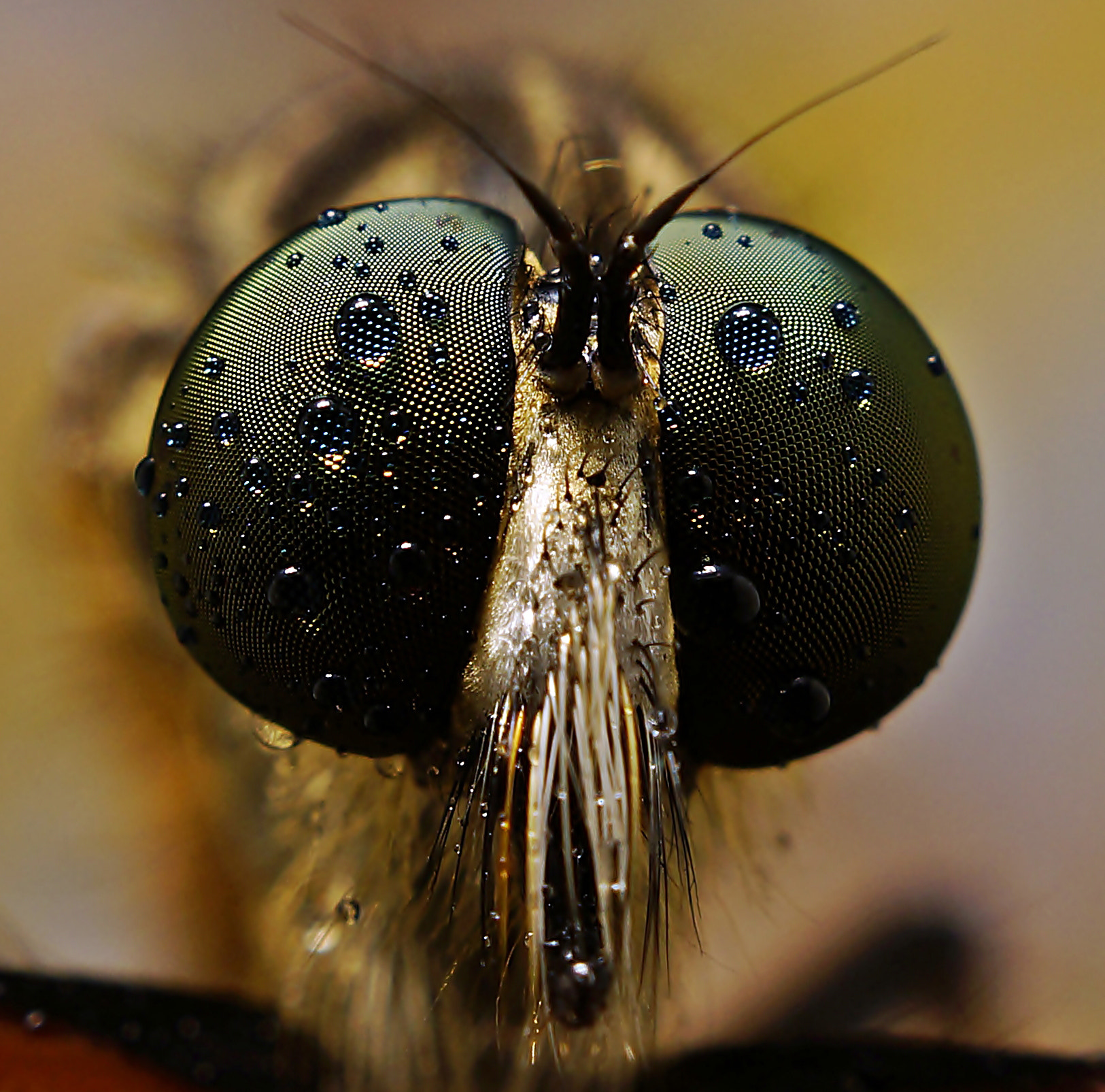 Photograph ROBBER FLY. by Abgtamz Ally on 500px