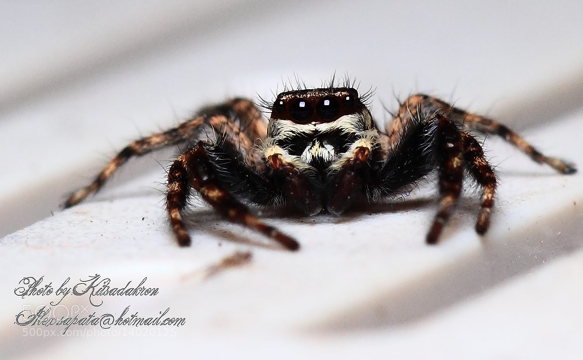 Photograph Jumping spiders by Kitsadakron Pongha on 500px