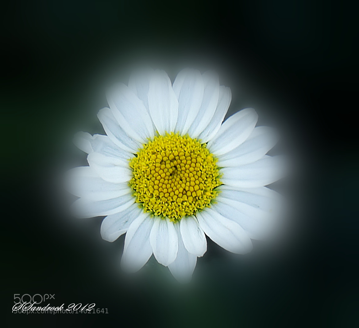 Photograph Glowing Daisy by Silvia Sandrock on 500px