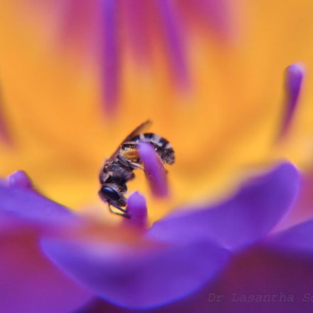 bee on water Lily