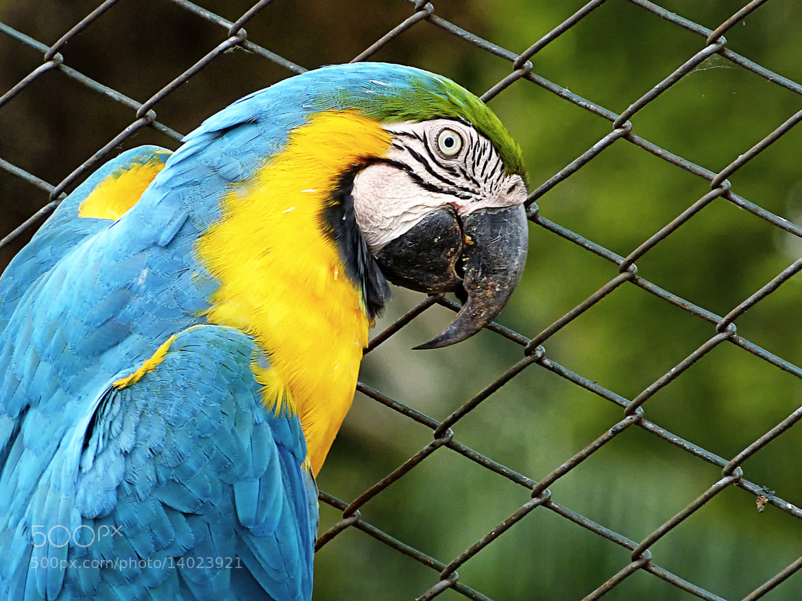 Photograph Blue-and-yellow Macaw by Pedro Henrique Evangelista on 500px