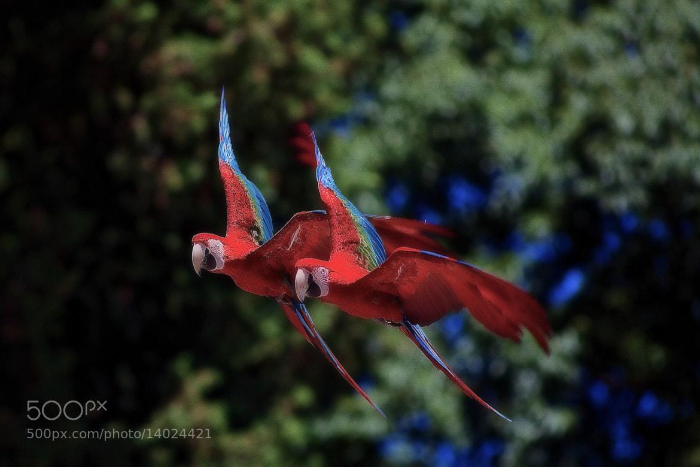 Photograph Macaws by Ricardo  Alves on 500px