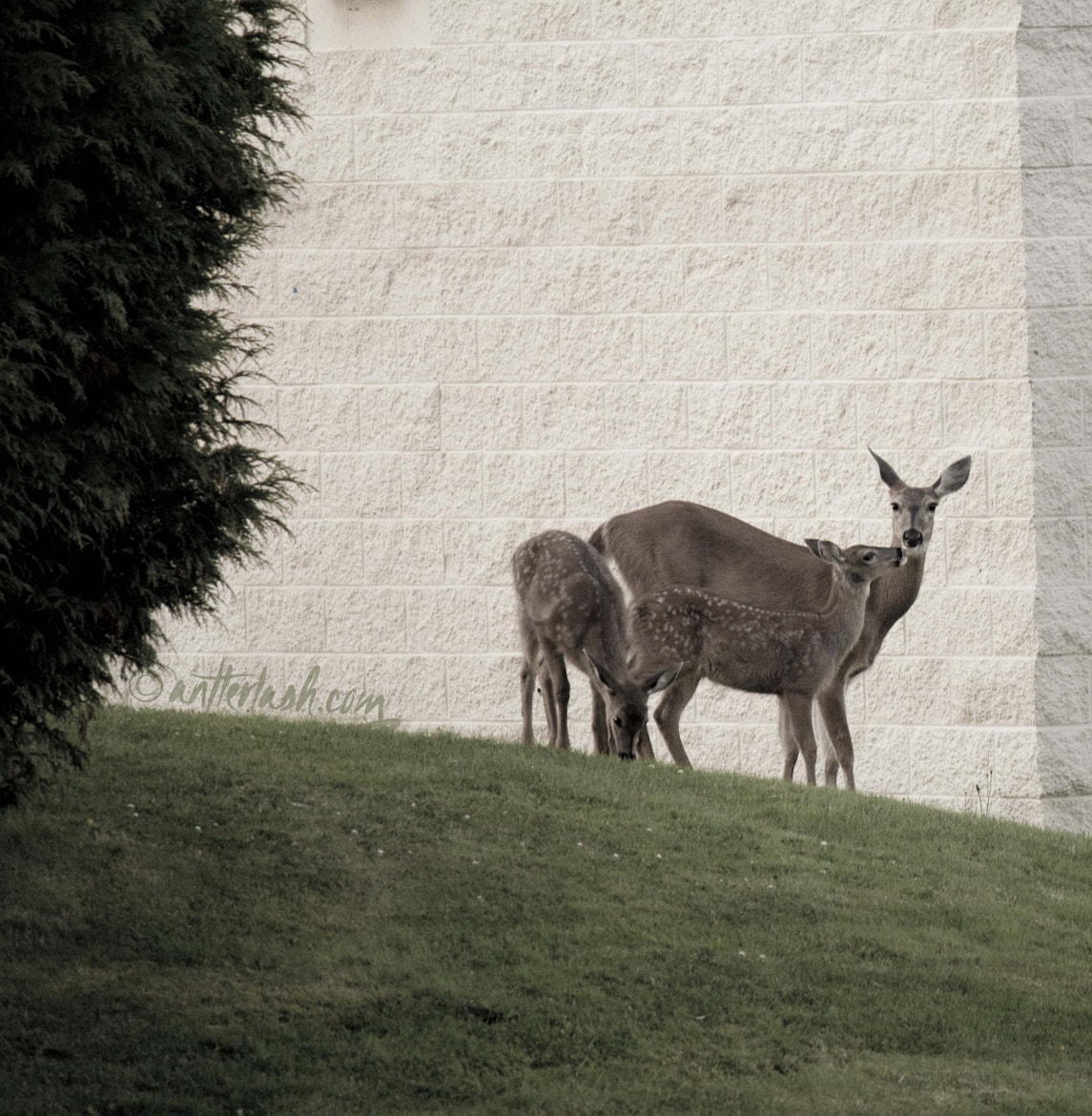 Photograph Urban Deer by Cassie O'Neil on 500px
