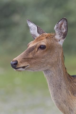 Photograph Sika doe looking elegant. by Peter Edge on 500px