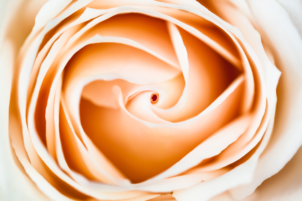 Photograph softly rose by Marion Fanieng on 500px