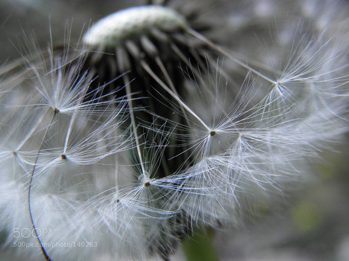 Photograph Dandelion by Soheil Yaghoobi Vije on 500px