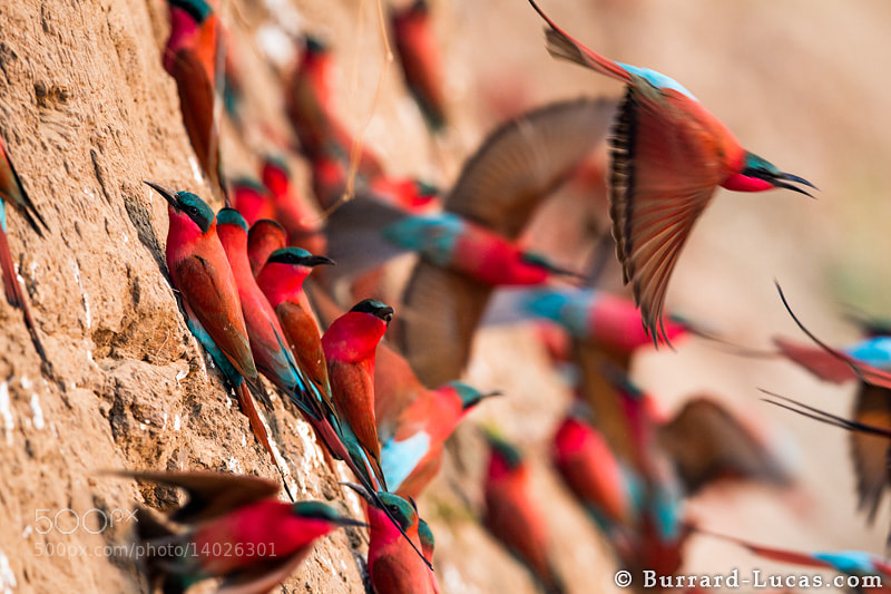 Photograph Nesting Bee-eaters by Will Burrard-Lucas on 500px