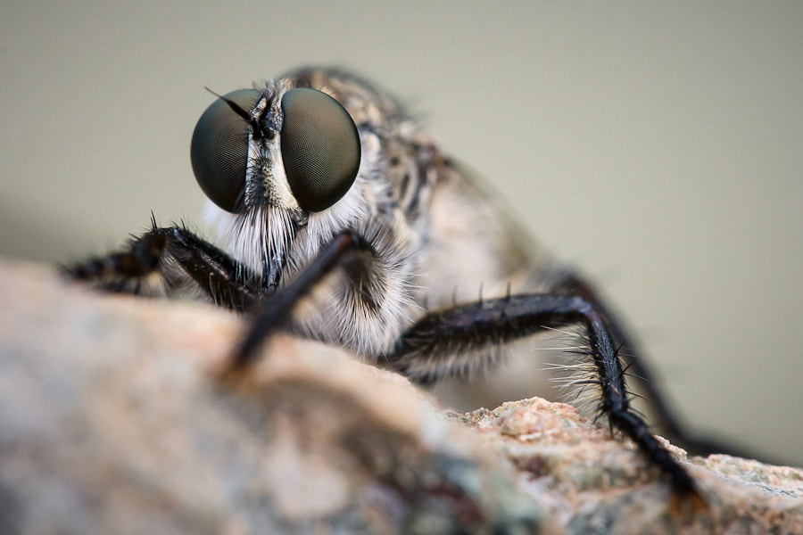 Photograph Robber-fly by Stavros Markopoulos on 500px