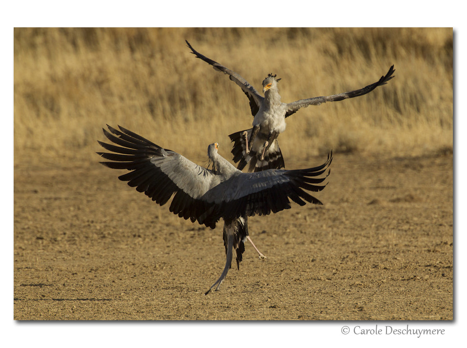 Photograph Secretary birds fighting in morning light.   by Deschuymere Carole on 500px