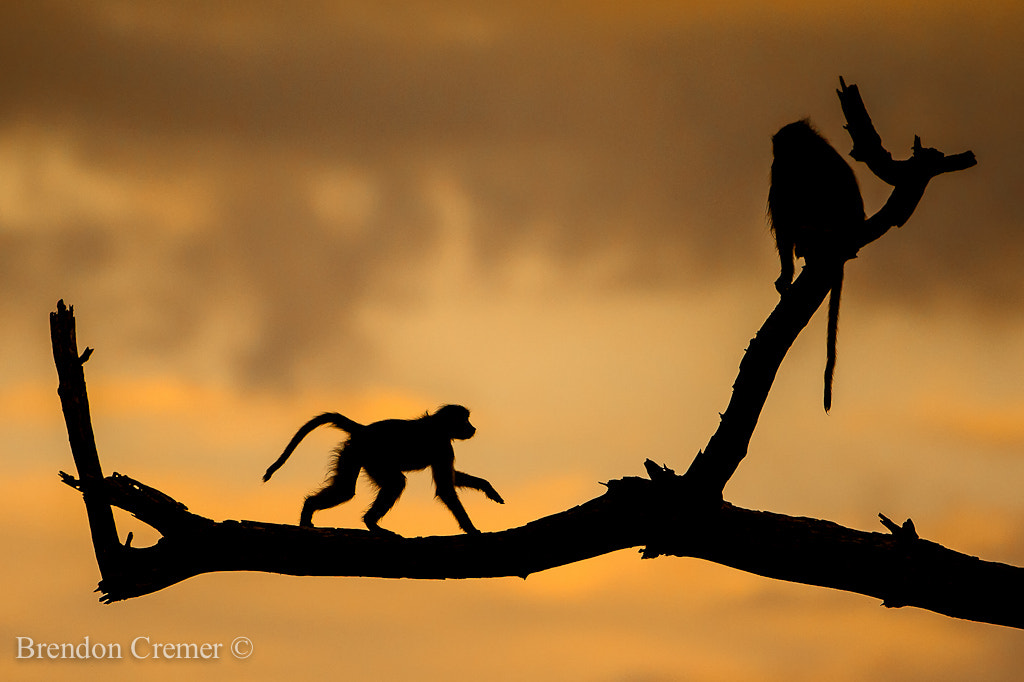 Photograph Baboons by Brendon Cremer on 500px