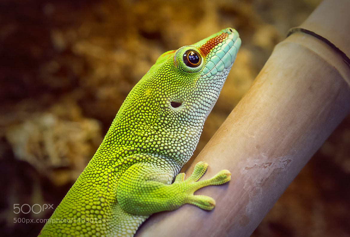 Photograph Madagascar Day Gecko by Wim Bolsens on 500px