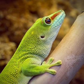 Madagascar Day Gecko by Wim Bolsens (mozzie)) on 500px.com
