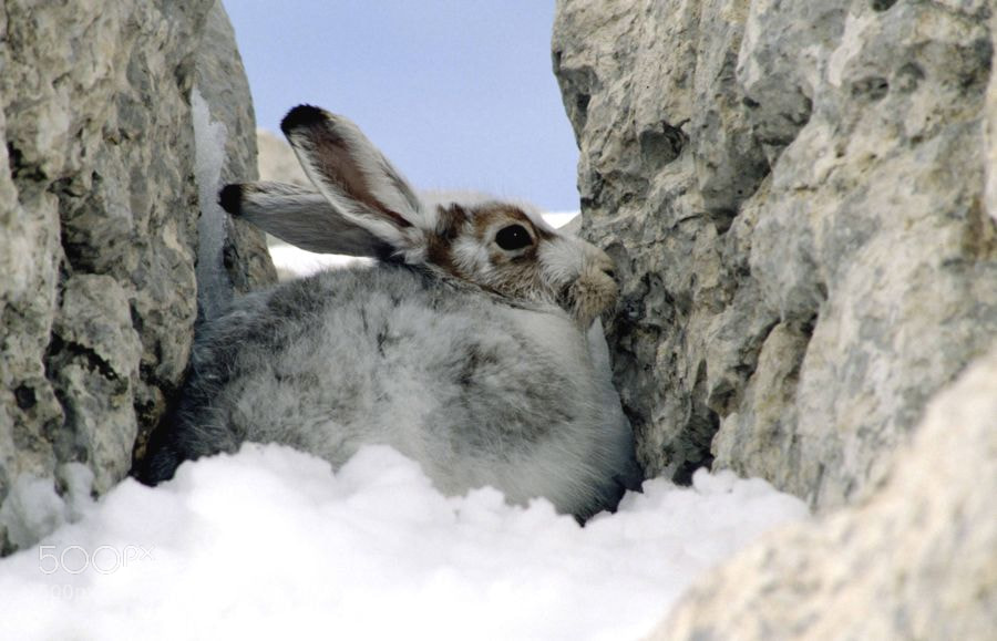 Photograph Mountain hare by Silvano Fabris on 500px