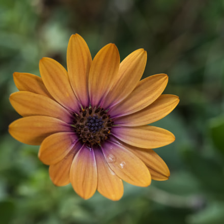 Bodrum papatyas African daisy, Nikon D800E, AF Micro-Nikkor 55mm f/2.8