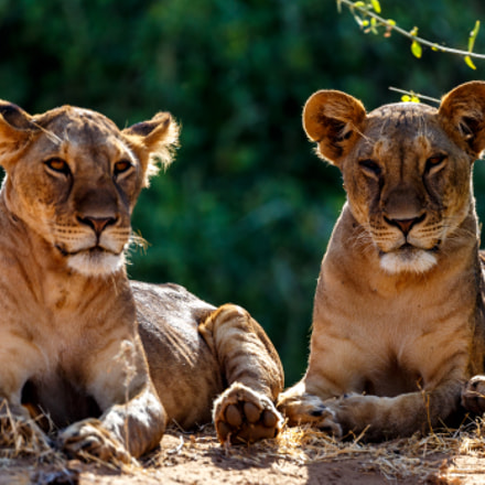 Lion cubs on the, Canon EOS 6D, Canon EF 200-400mm f/4L IS USM