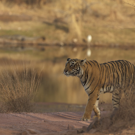 Tiger on the stroll, Canon EOS 5D MARK II, Canon EF 200-400mm f/4L IS USM