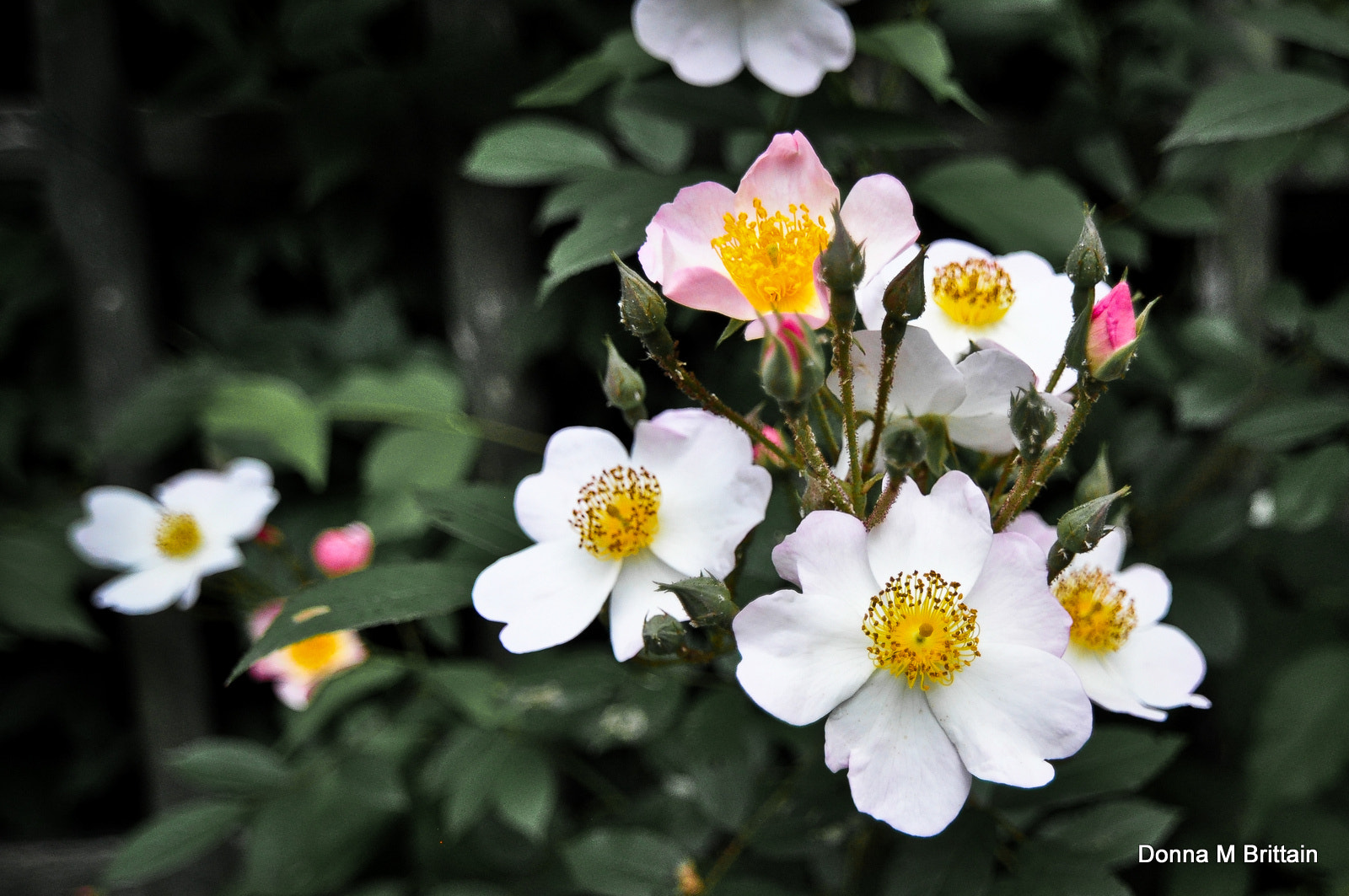 Photograph Wild Roses by Donna Brittain on 500px