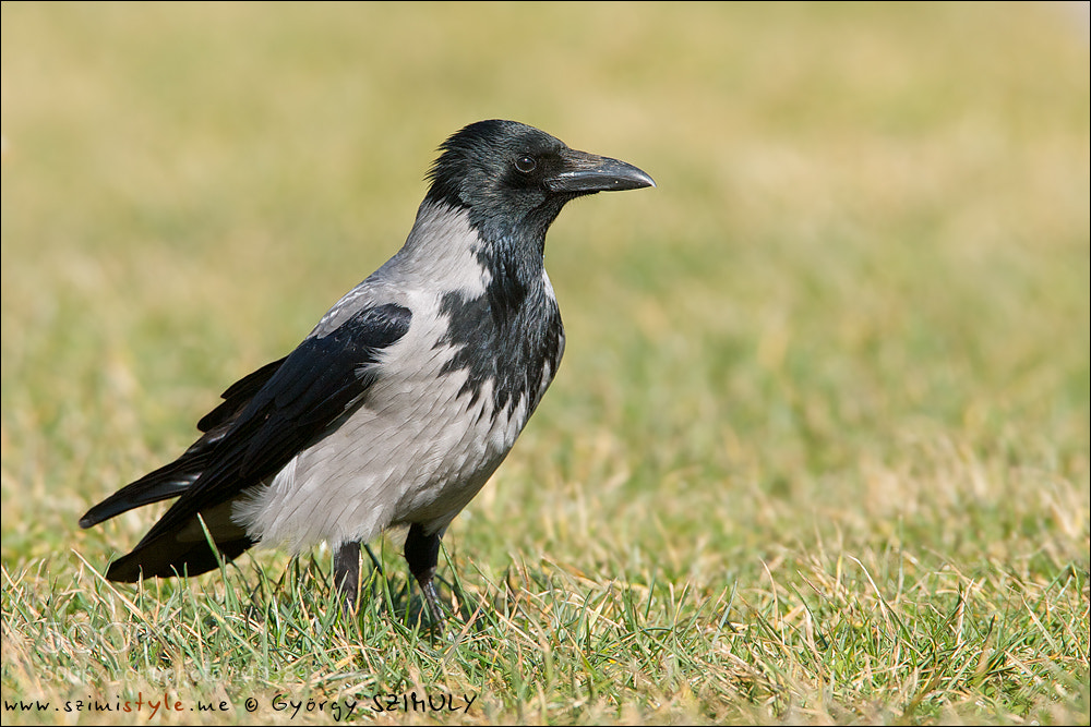 Photograph Hooded Crow (Corvus cornix) by Gyorgy Szimuly on 500px