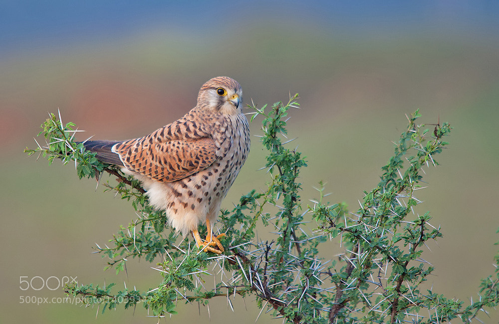 Photograph Common Kestrel - Female by Girish Prahalad on 500px