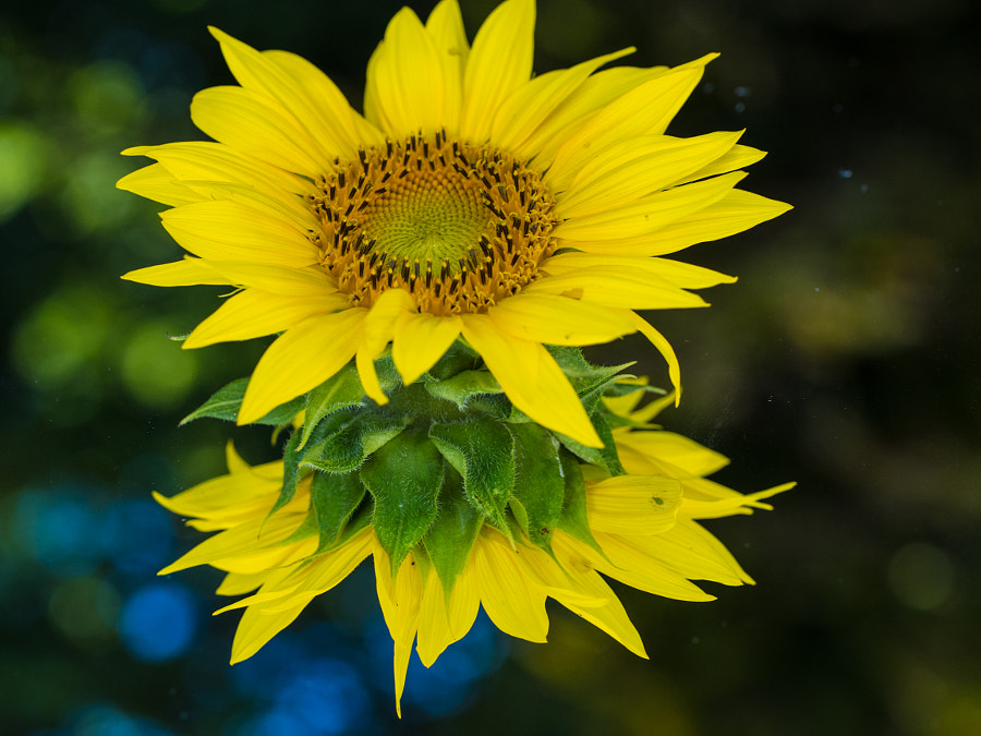 Sunflower by John Poltrack on 500px.com